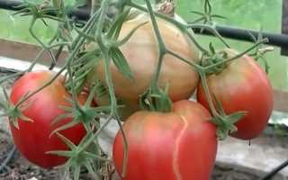 Описание крупноплодного томата Лентяйка: характеристики, урожайность, отзывы
