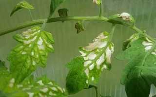 Почему на листьях рассады помидоров появились белые пятна