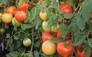 Описание томата Верочка F1: характеристика и урожайность