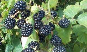Описание и особенности выращивания ежевики в Подмосковье