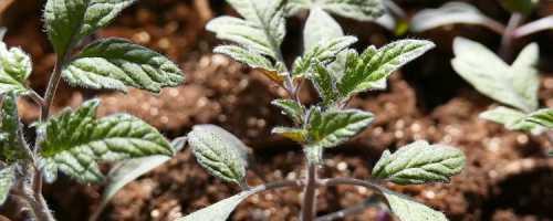 Почему не растет рассада помидоров и что делать для ее оздоровления