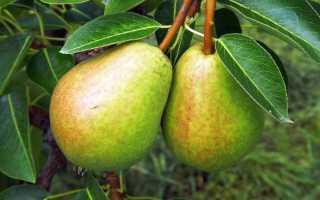 Описание и выращивание сорта груши Чижовская