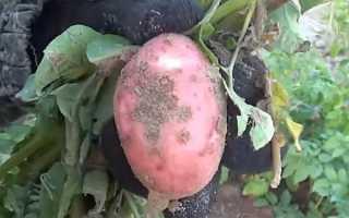 Как бороться с паршой на картофеле: эффективные способы лечения