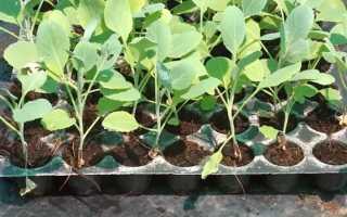 Желтеет рассада капусты: что делать для оздоровления