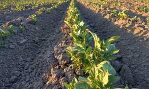 Через какое время всходит картофель после посадки: что влияет на сроки всхожести
