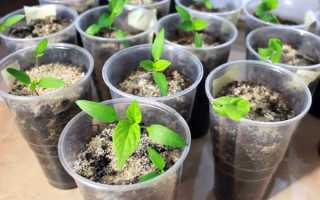 Чем можно подкормить рассаду перцев: нормы внесения удобрений