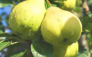 Описание летнего сорта груши Августовская роса