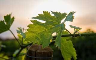 Как разводить железный купорос для обработки винограда весной, летом и осенью