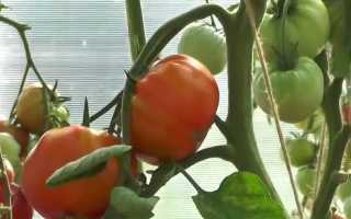 Описание и характеристики томата Бычий лоб
