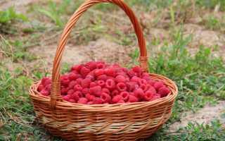 Особенности выращивания малины Атлант
