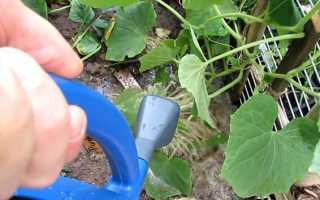 Почему листья огурцов покрылись ржавыми пятнами: причины и что делать