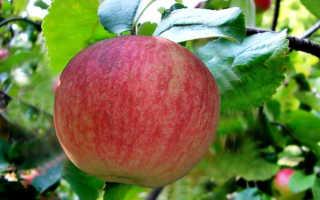 Невероятно сочные и сладкие плоды яблони Конфетное
