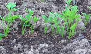 Почему долго не всходит морковь и как ускорить прорастание семян