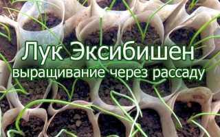 Как вырастить лук Эксибишен через рассаду: технология выращивания и сроки посева