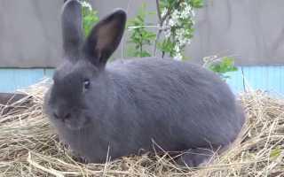 Особенности содержания и разведения кроликов породы Венский голубой
