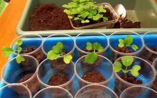 Когда можно пикировать рассаду капусты: как правильно и нужно ли прищипывать
