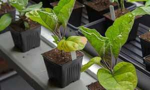 Почему сохнут листья на рассаде баклажанов: причины, способы оздоровления