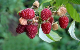 Описание высокоурожайного сорта малины Полана