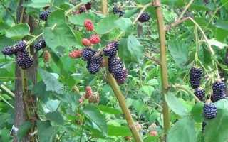 Описание крупноплодного сорта бесшипной ежевики Натчез