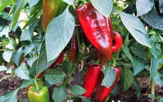 Описание сорта перца Подарок Молдовы: характеристики, урожайность, отзывы