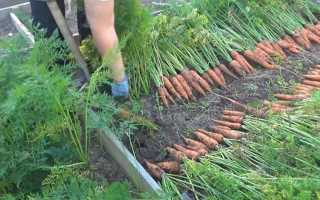 Когда пора убирать морковь с грядок: сроки уборки