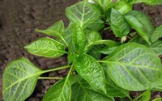 Фиолетовые листья на перце: что делать, чем подкормить?
