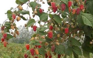 Описание и выращивание сортов штамбовой малины