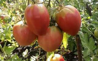 Описание и характеристики томата Розовое сердце