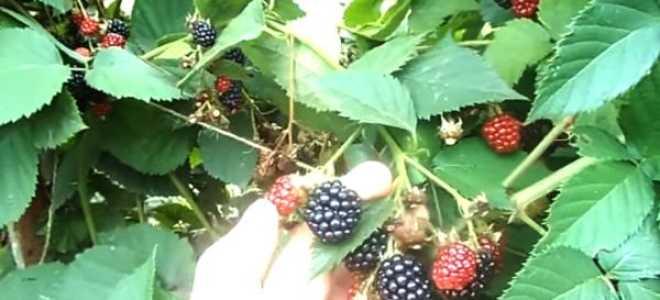Описание и особенности выращивания сорта ежевики Торнфри