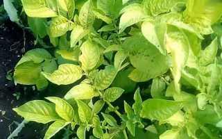 Обработка картофеля от фитофторы народными средствами и препаратами