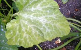 Почему желтеют листья на кабачках: что делать, чем обработать и подкормить?