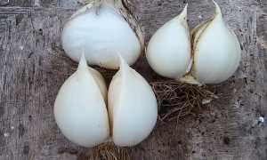 Технология выращивания чеснока Рокамболь в домашних условиях
