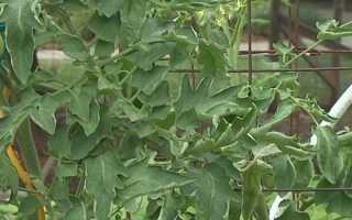 Скручиваются листья на помидорах: причины, что нужно делать