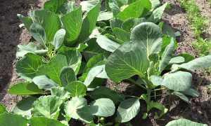 Как обрабатывают капусту уксусом от вредителей