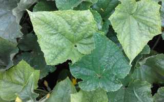 Бледные листья на огурцах: причины и чем подкормить