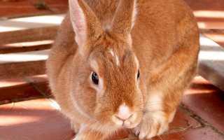 Описание Новозеландских кроликов красной и белой породы