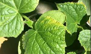 На листьях огурцов желтеют края — что делать и чего не хватает