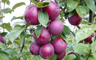 Характеристика и правила выращивания яблони Спартан