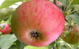 Правила выращивания лучшего летнего сорта яблок Медуница