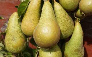 Описание, особенности выращивания и полезные свойства груши Конференция