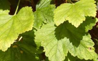 Желтеют листья на смородине: причины, что нужно делать, чем обработать