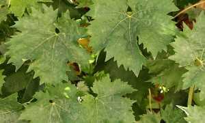 Чем обрабатывать виноград от мучнистой росы