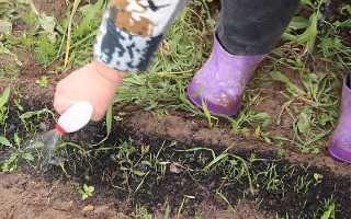 Kеросин от сорняков и вредителей на моркови — как прополоть и обработать