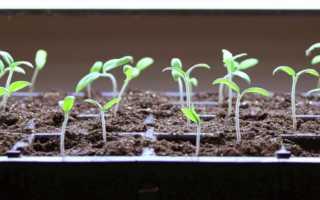Через сколько дней после посева всходят семена помидоров и как ускорить их прорастание