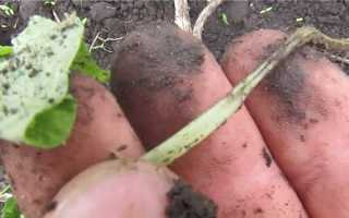 Чем лечить корневую гниль на огурцах