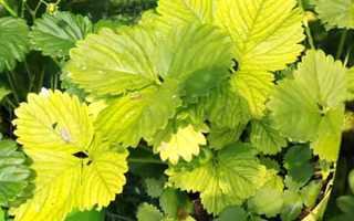 Желтеют листья на клубнике: что делать, чем лечить
