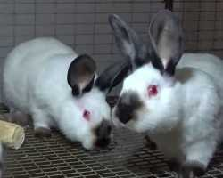 Подробное описание и особенности содержания кроликов калифорнийской породы