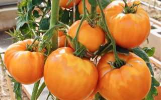 Описание сорта томата Амана Оранж: характеристика и урожайность