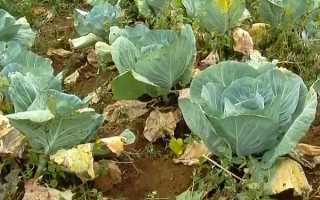 Почему желтеют листья у капусты на грядке: причины, что делать и чем обработать