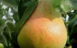 Описание и выращивание груши Вильямс красного, летнего и зимнего сорта